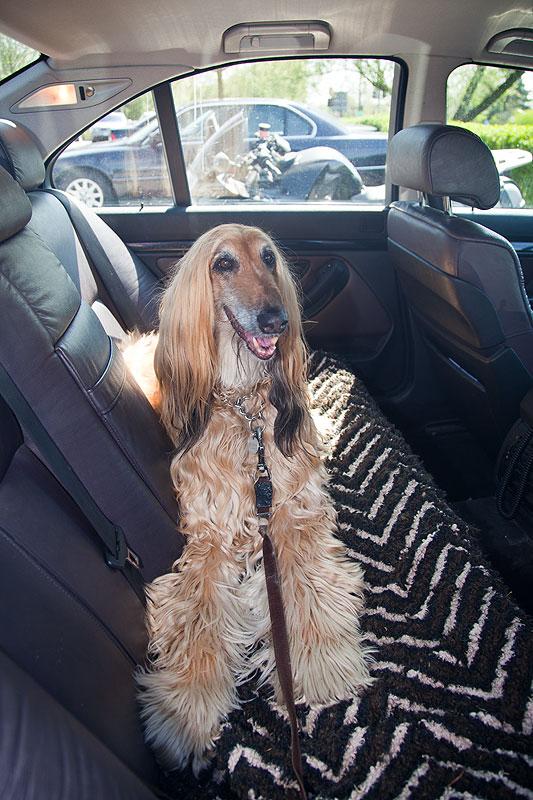 Sassy auf der Rückbank im BMW 5er (E39) von Aloys ('Aloys Reichert')