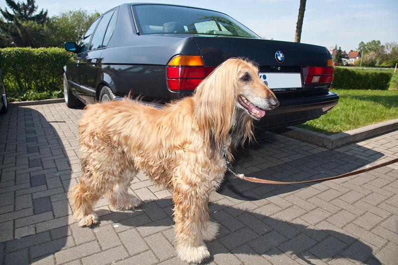Windhund namens Sassy von Aloys ('Aloys Reichert') beim Rhein-Ruhr-Stammtisch